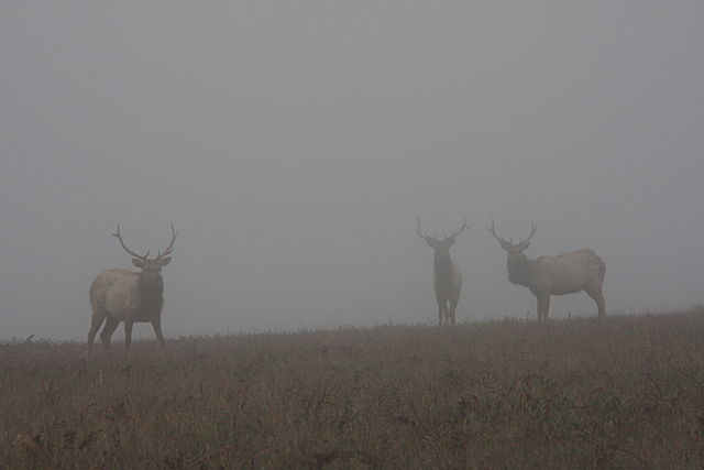 Elks in fog