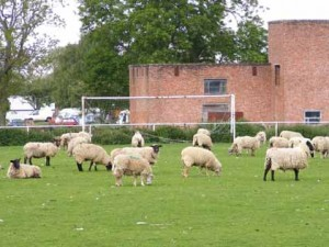 Sheep football match
