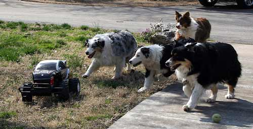 Dogs chasing car