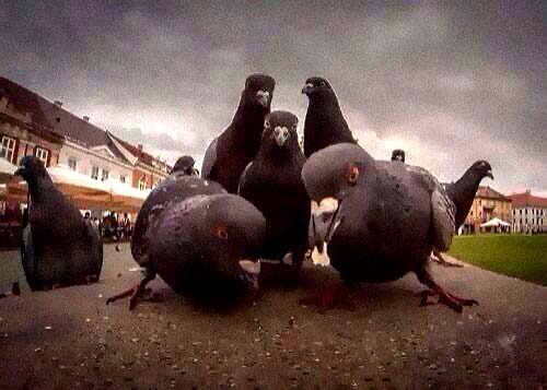 Pigeon rap group